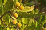 Boscia matabelensis