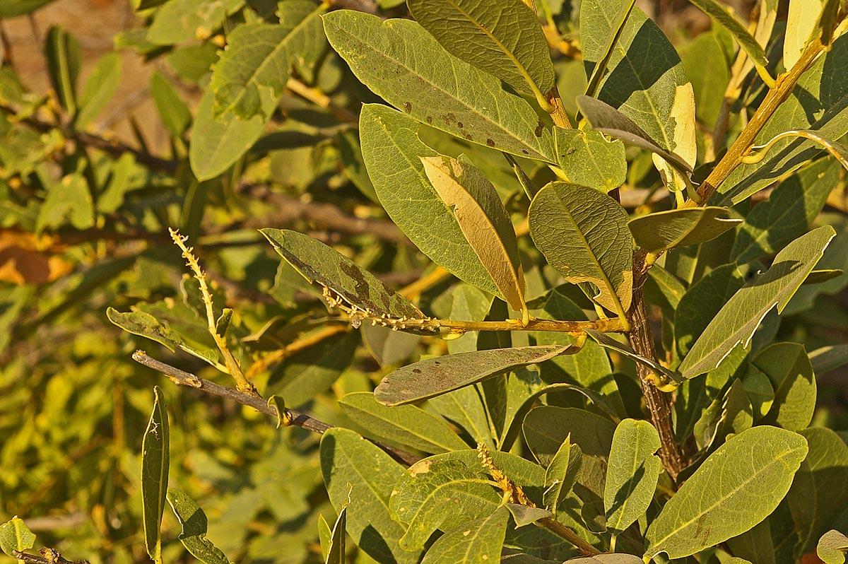 Boscia mossambicensis