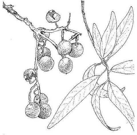 Boscia salicifolia