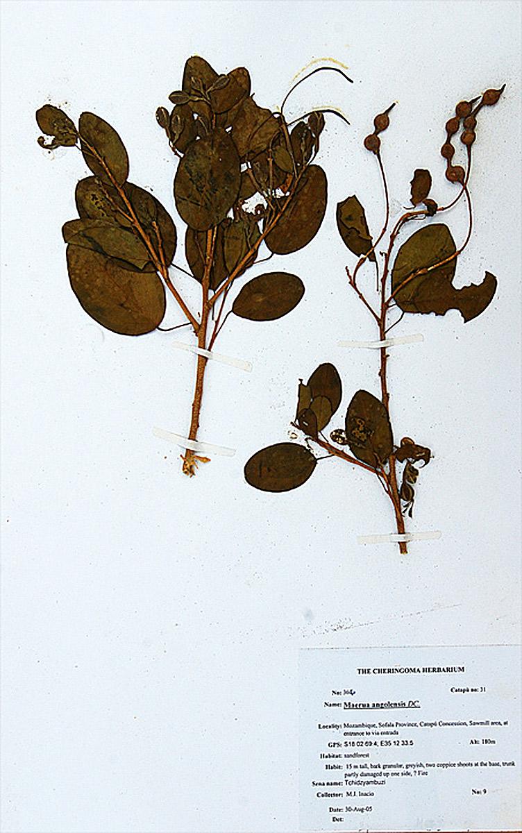 Maerua angolensis