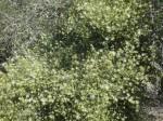 Maerua juncea subsp. juncea