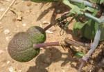 Maerua juncea subsp. crustata