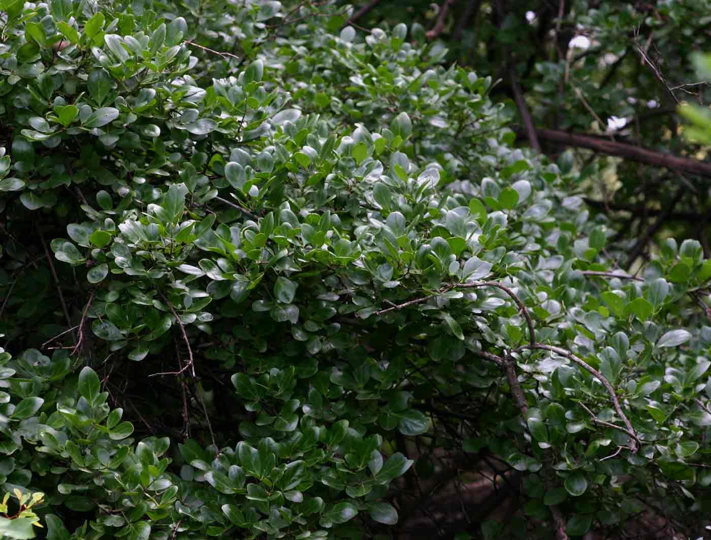 Maerua triphylla subsp. pubescens