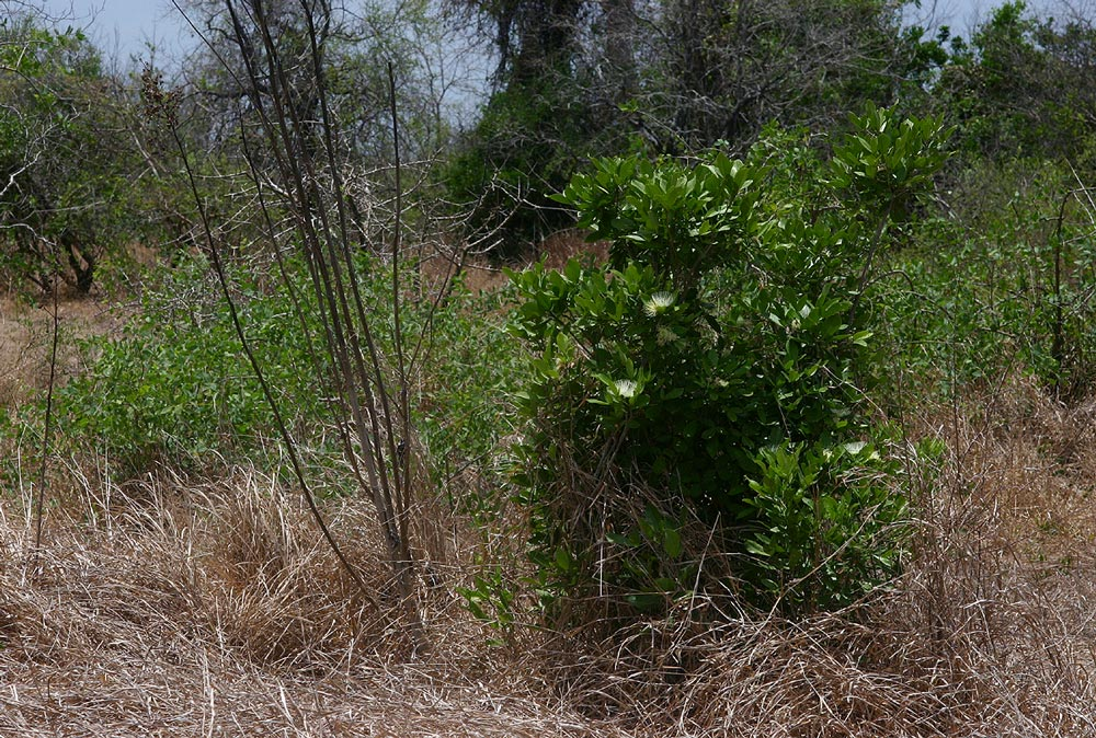 Thilachium africanum