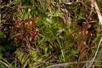 Drosera madagascariensis