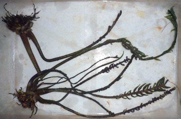 Hydrostachys polymorpha