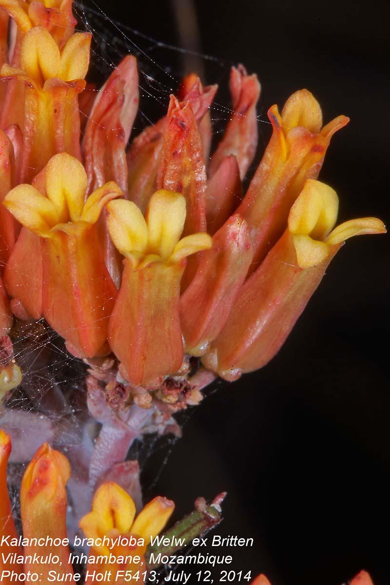Kalanchoe brachyloba