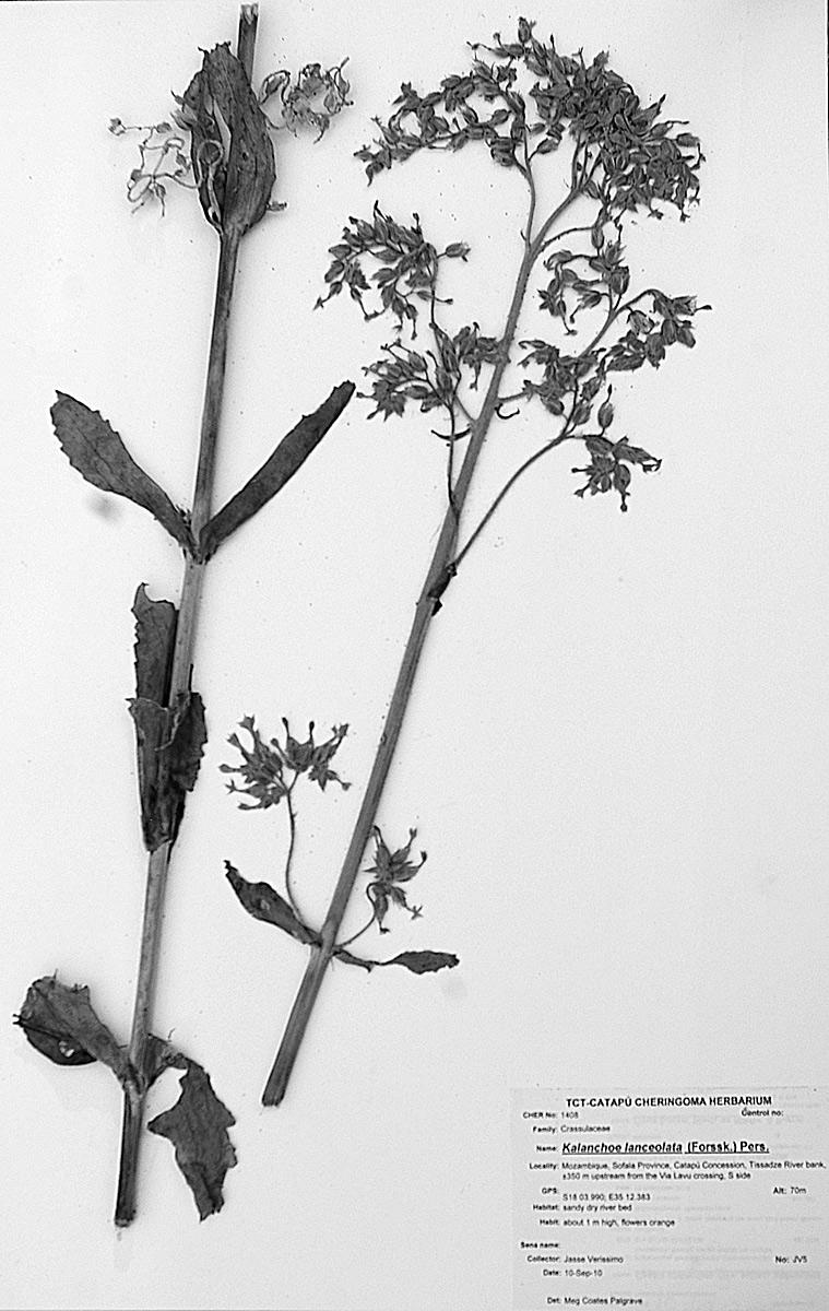 Kalanchoe lanceolata