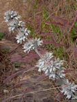 Kalanchoe luciae subsp. luciae