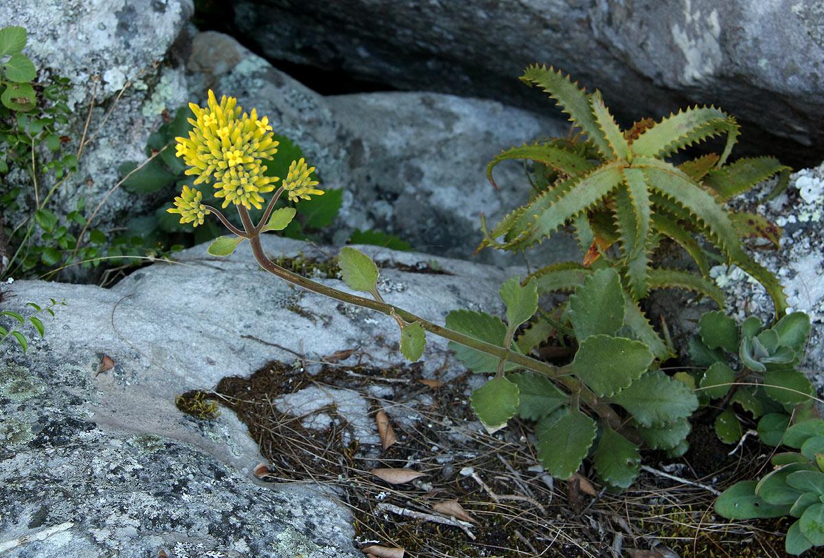 Kalanchoe velutina subsp. chimanimaniensis