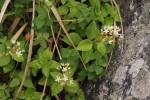 Crassula alticola