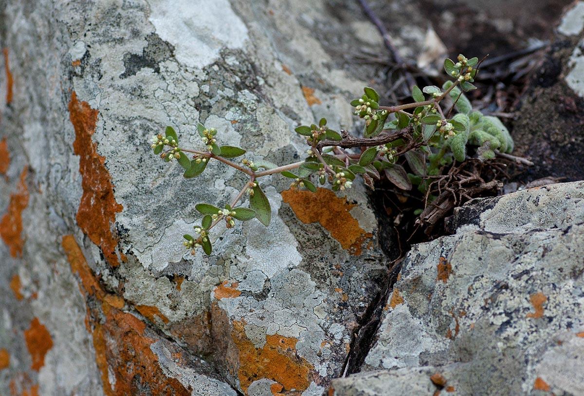 Crassula expansa subsp. fragilis var. fragilis