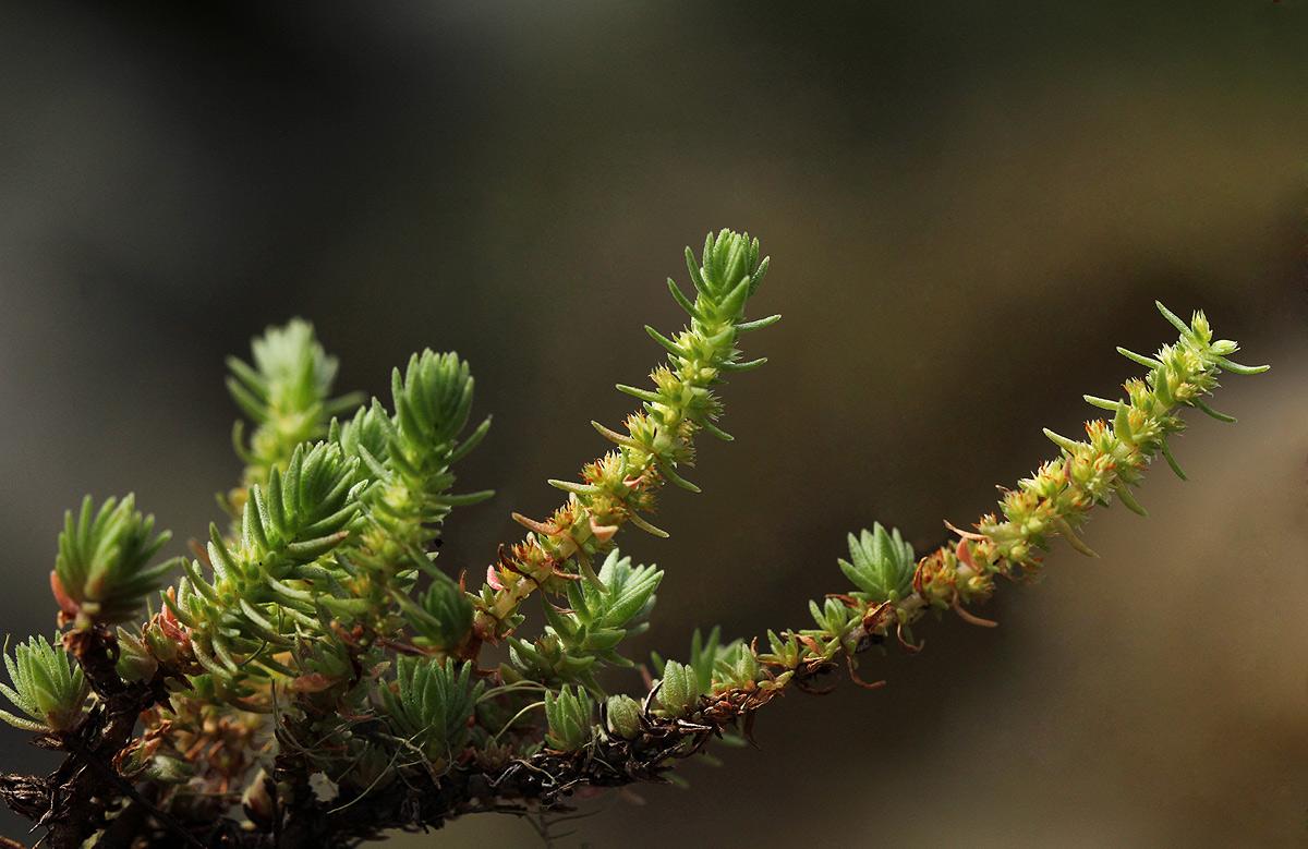 Crassula lanceolata subsp. transvaalensis