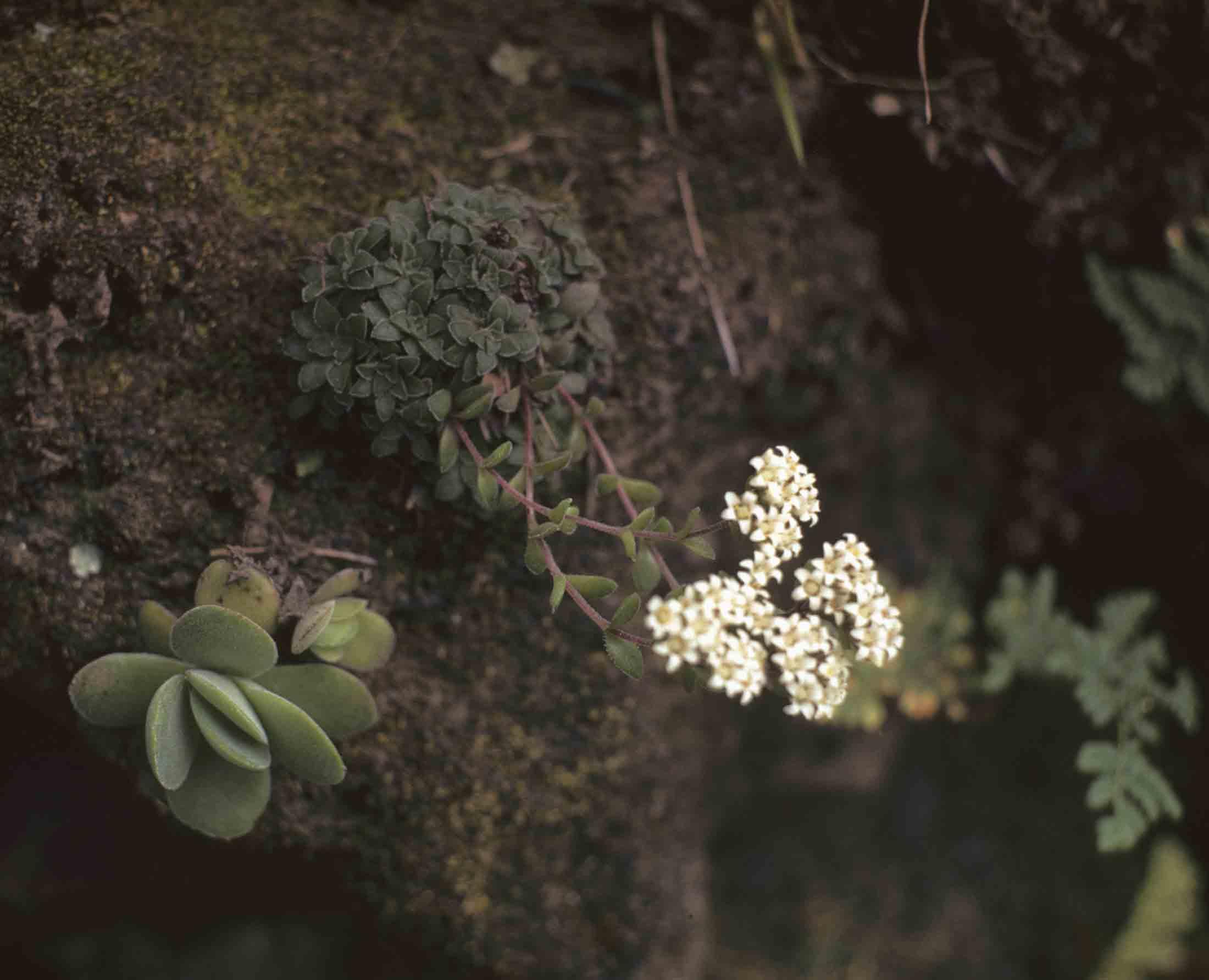 Crassula setulosa var. setulosa