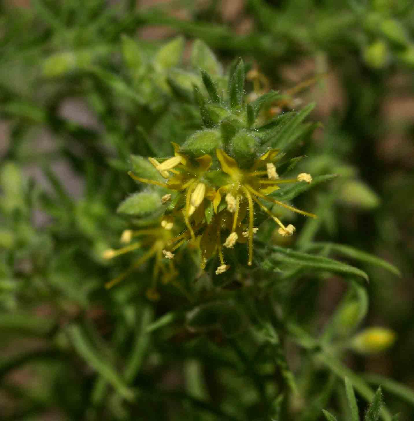 Vahlia capensis subsp. vulgaris var. vulgaris