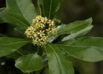 Pittosporum viridiflorum var. viridiflorum