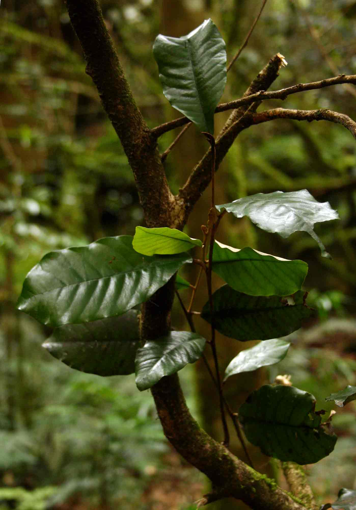 Trichocladus ellipticus subsp. malosanus
