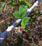 Rubus niveus