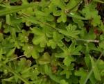 Alchemilla kiwuensis