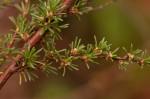 Cliffortia linearifolia