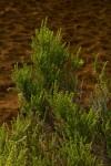 Cliffortia nitidula