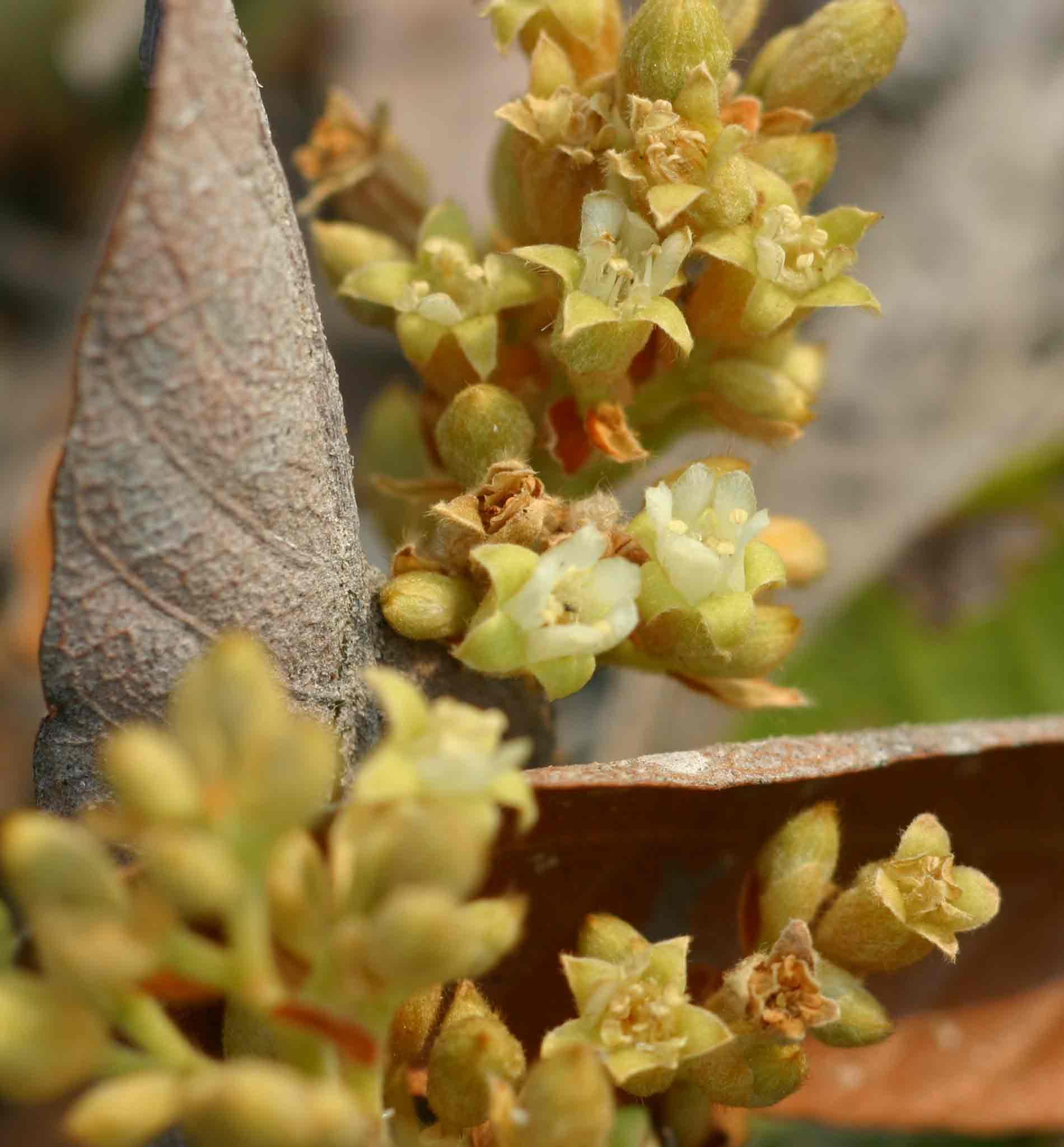 Parinari capensis subsp. capensis
