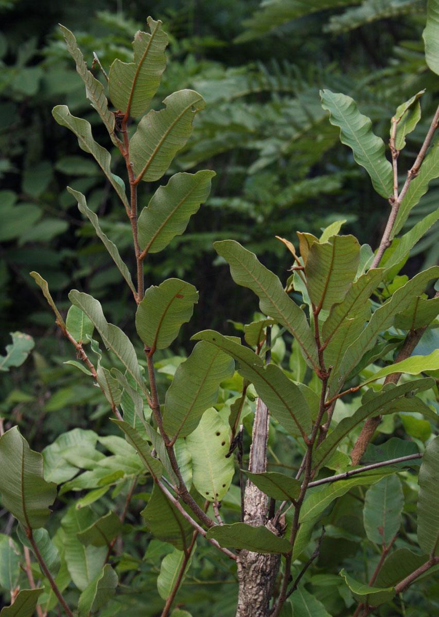 Parinari curatellifolia