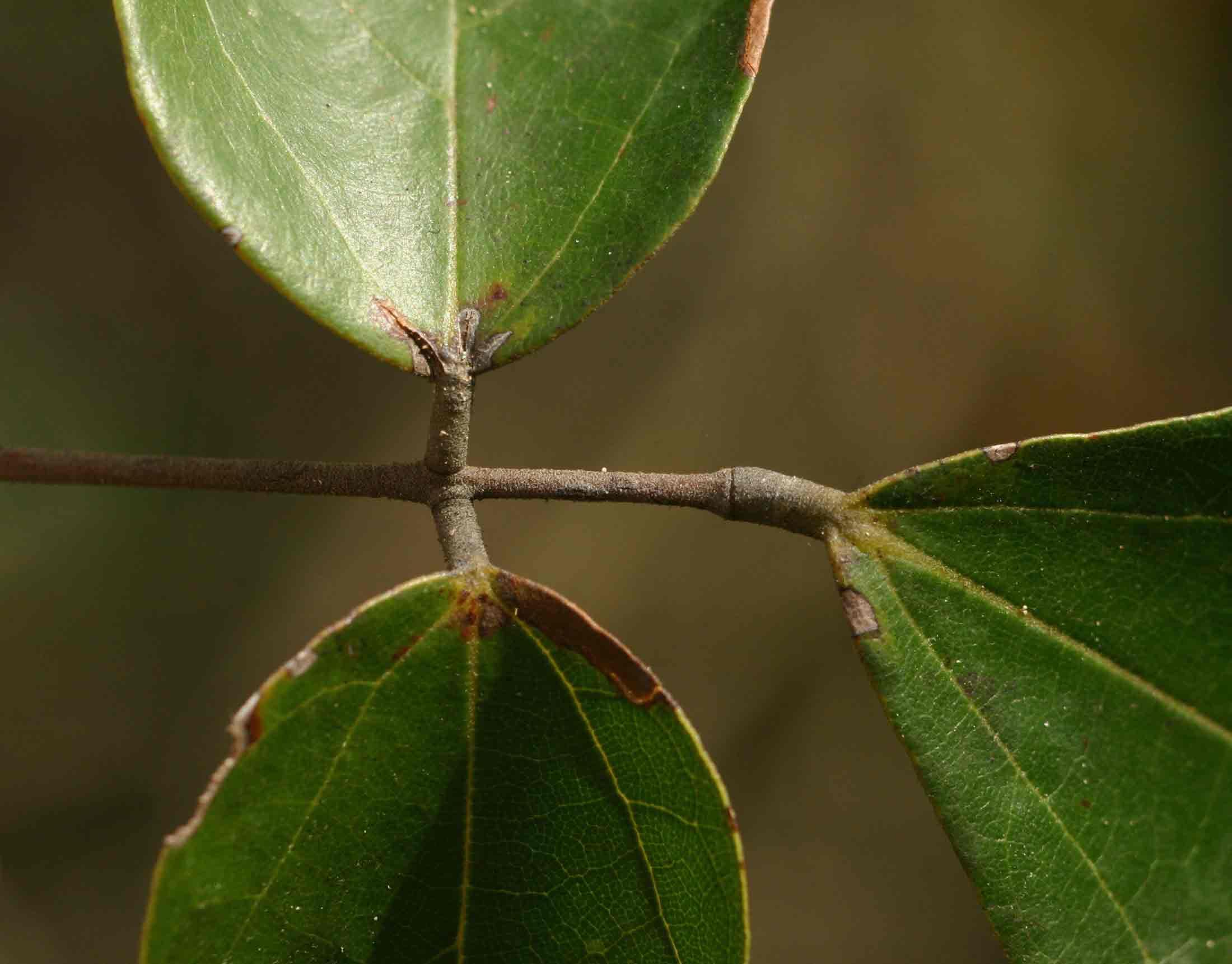 Agelaea pentagyna