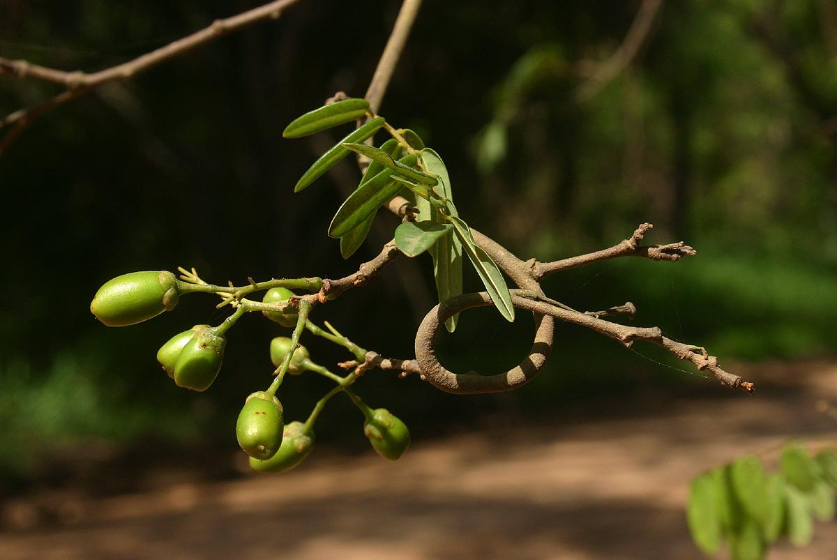 Rourea orientalis