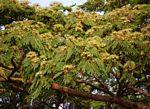 Albizia adianthifolia