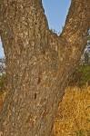 Albizia amara subsp. sericocephala