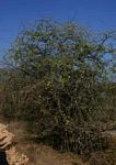Albizia anthelmintica