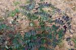 Albizia antunesiana