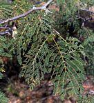 Albizia brevifolia
