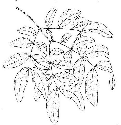 Albizia glaberrima var. glabrescens