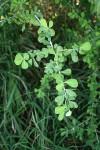 Euphorbia cuneata subsp. cuneata