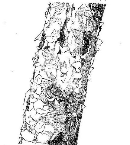 Albizia tanganyicensis
