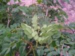 Albizia versicolor