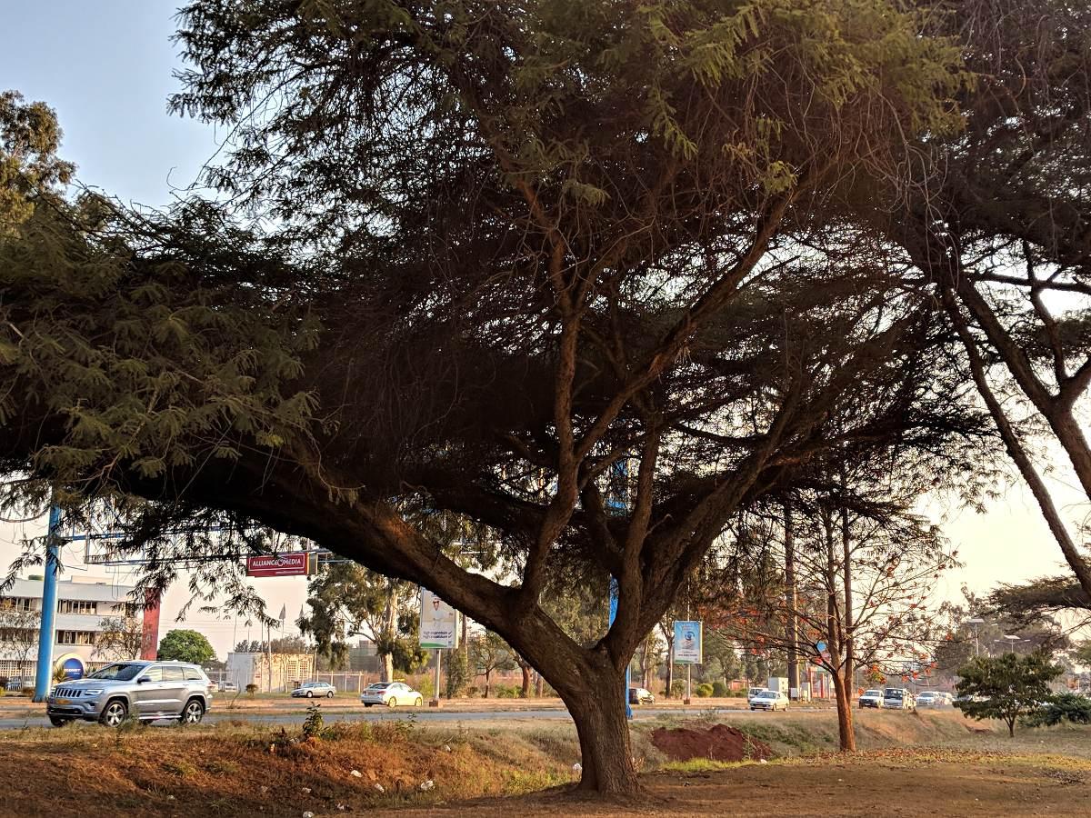 Acacia abyssinica