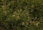 Acacia arenaria