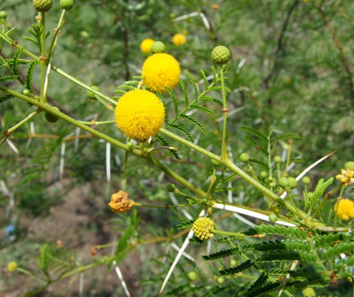 Acacia borleae