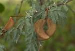 Acacia erioloba