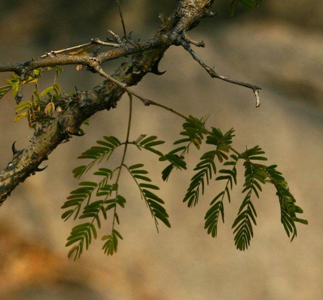 Acacia erubescens