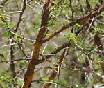 Acacia exuvialis