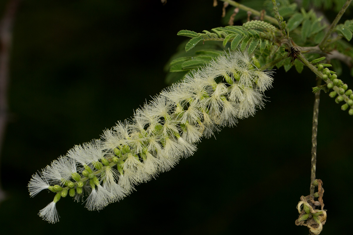 Acacia fleckii