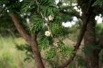 Acacia gerrardii var. gerrardii