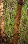 Acacia goetzei subsp. goetzei