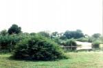 Acacia hebeclada subsp. hebeclada