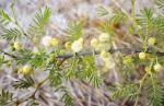 Acacia hebeclada subsp. chobiensis