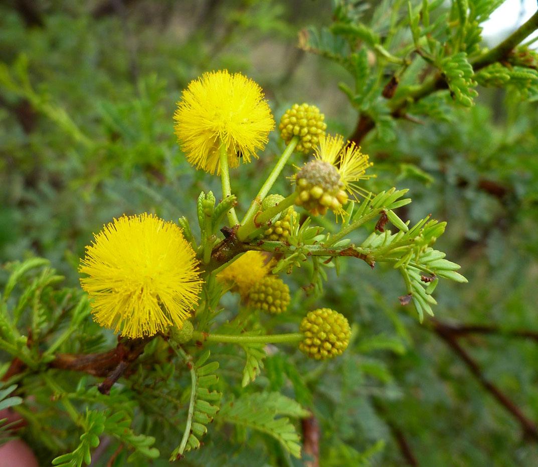 Flora Of Zambia Species Information Individual Images Acacia Karroo